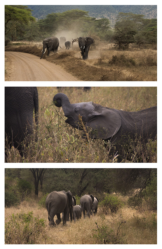 WEB_P_ID520345-Elephant-Family-Jessi-Kaufman.jpg