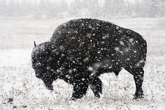 WEB_P_ID520481-Bison-feeding-in-summer-snow-Patty-Kelley.jpg