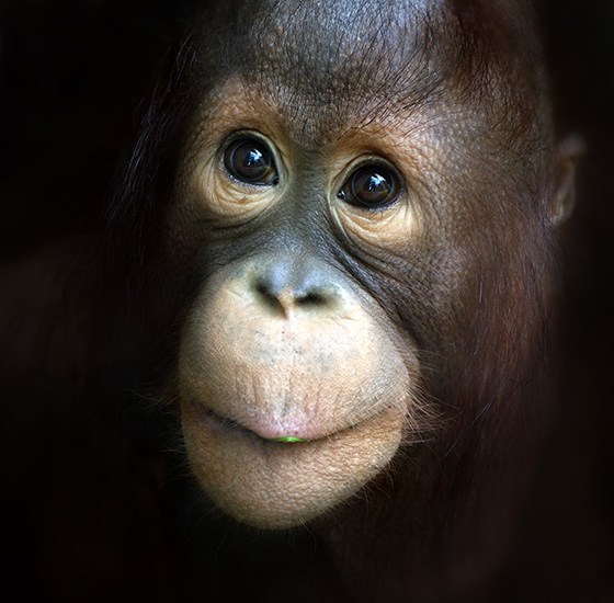 WEB_P_ID520722-Orangutan-kid-marvels-at-the-worlds-wonders-Marie-Lehmann.jpg
