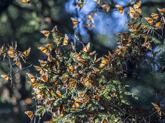 WEB_P_ID560373-Monarch-Cluster-Patricia-Bernstein.jpg