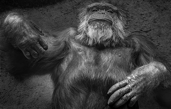WEB_P_ID560376-Senior-Chimpanzee-David-Bartlett.jpg