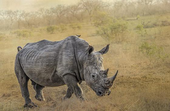 WEB_P_ID560381-Rhino-with-Oxpecker-Carol-Leadbetter.jpg