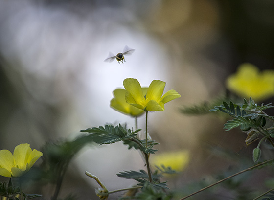 WEB_P_ID560385-BEE-AND-YELLOW-FLOWERS-Lynne-Bernay.jpg