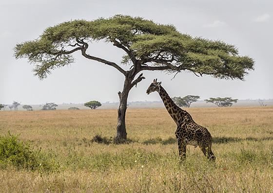 Twiga Ya Serengeti © 2018 Frances Ehrenberg-Hyman | All Rights Reserved