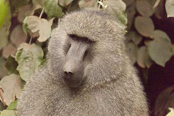 Baboon © 2018 Michael Wicks | All Rights Reserved