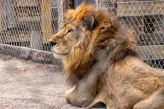 Lion at Rest © 2018 Miriam Klepper | All Rights Reserved