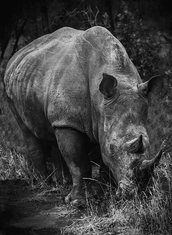 Rhino © 2018 Marvin Basil | All Rights Reserved