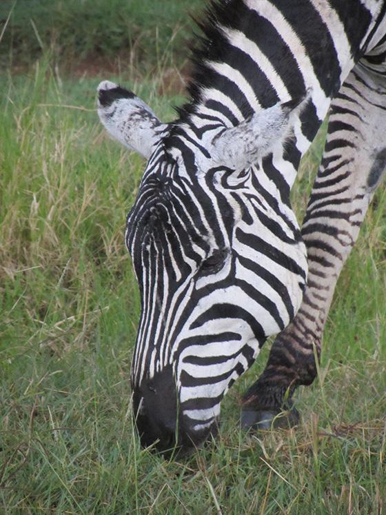 Burchell's Zebra © 2018 Linda Fleischman   All Rights Reserved
