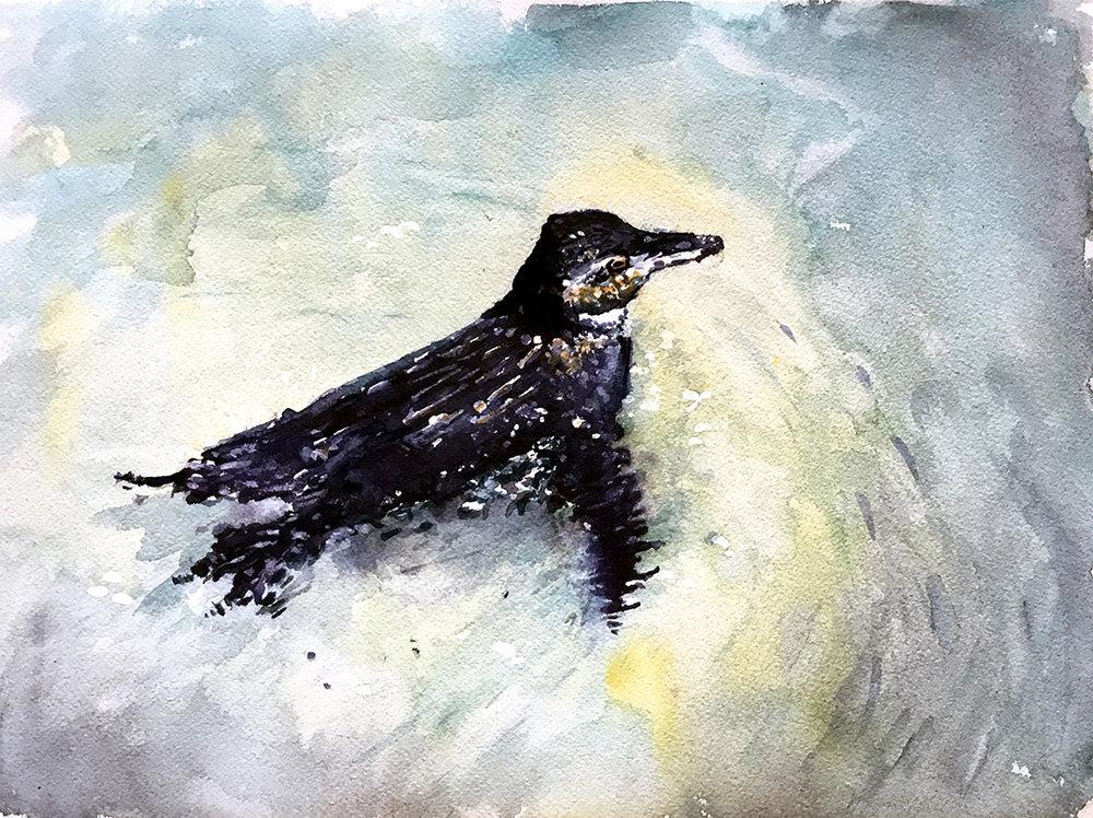 The Rarest Penguin Isabela Island Galapagos © 2018 Veronika Doljenkova   All Rights Reserved