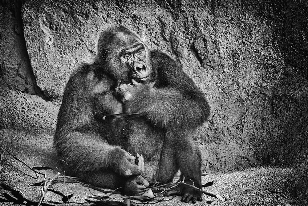 Gorilla Pondering His Fate © 2018 Marvin Basil | All Rights Reserved