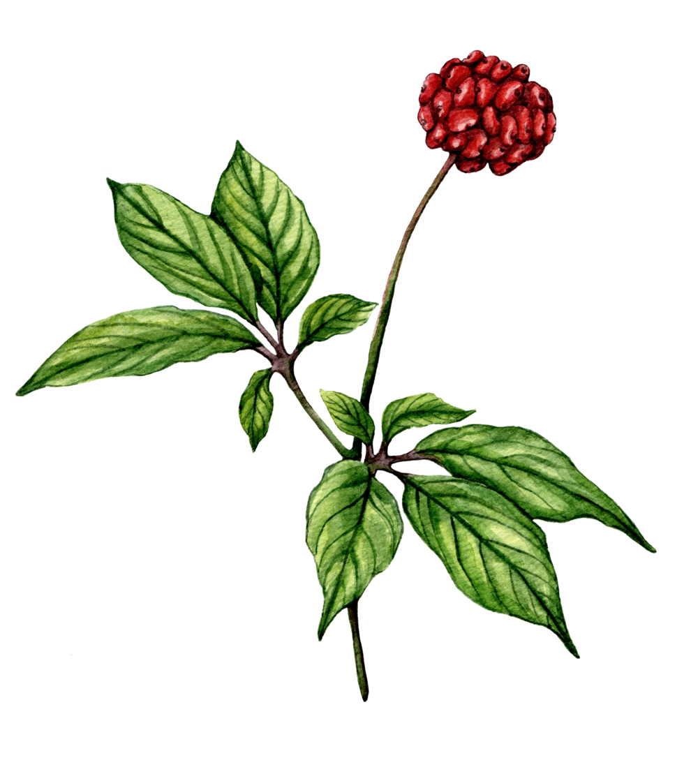 Ginseng Smart Drugs earth grown ingredients for Global Focus Nootropic