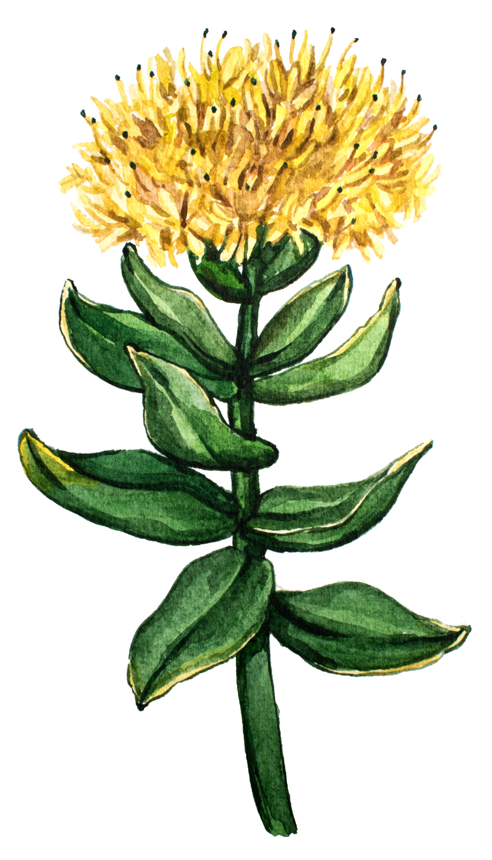 Rhodiola Rosea as Smart Drugs for Global Focus Nootropic with earth grown ingredients
