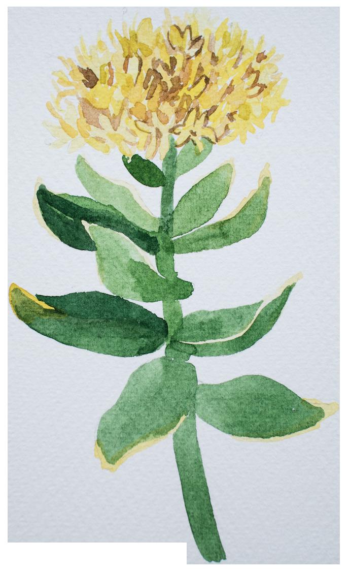 Rhodiola Rosea in Buy Nootropics as earth grown ingredients by Earthly Biotics
