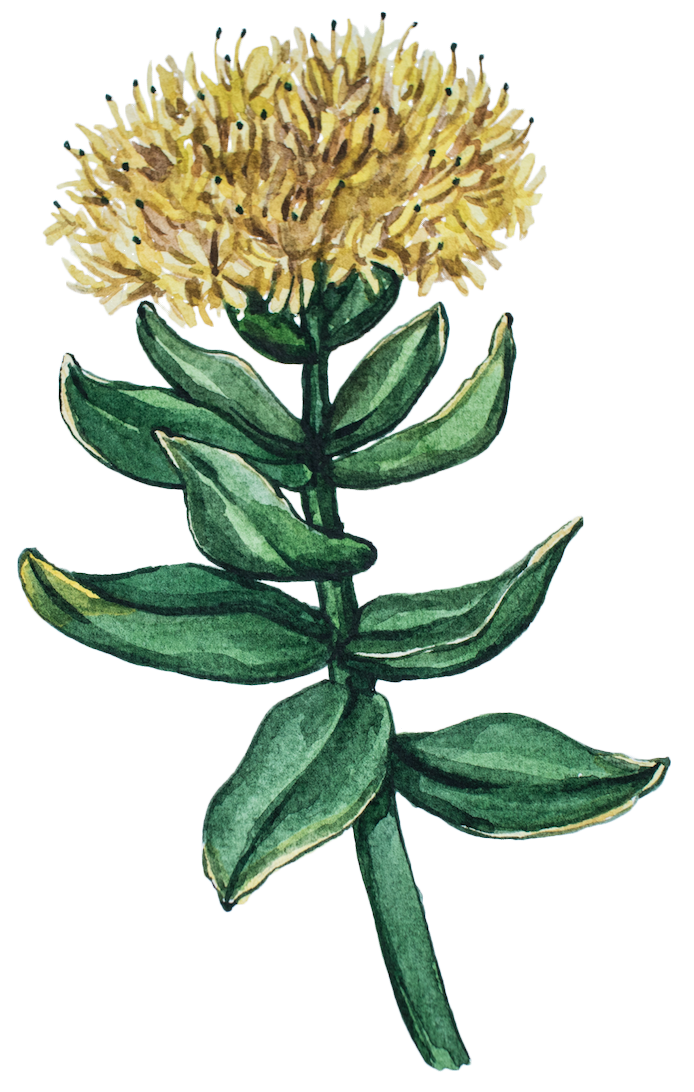 Rhodiola Rosea for Nootropic Supplements from Earthly Biotics for earth grown ingredients