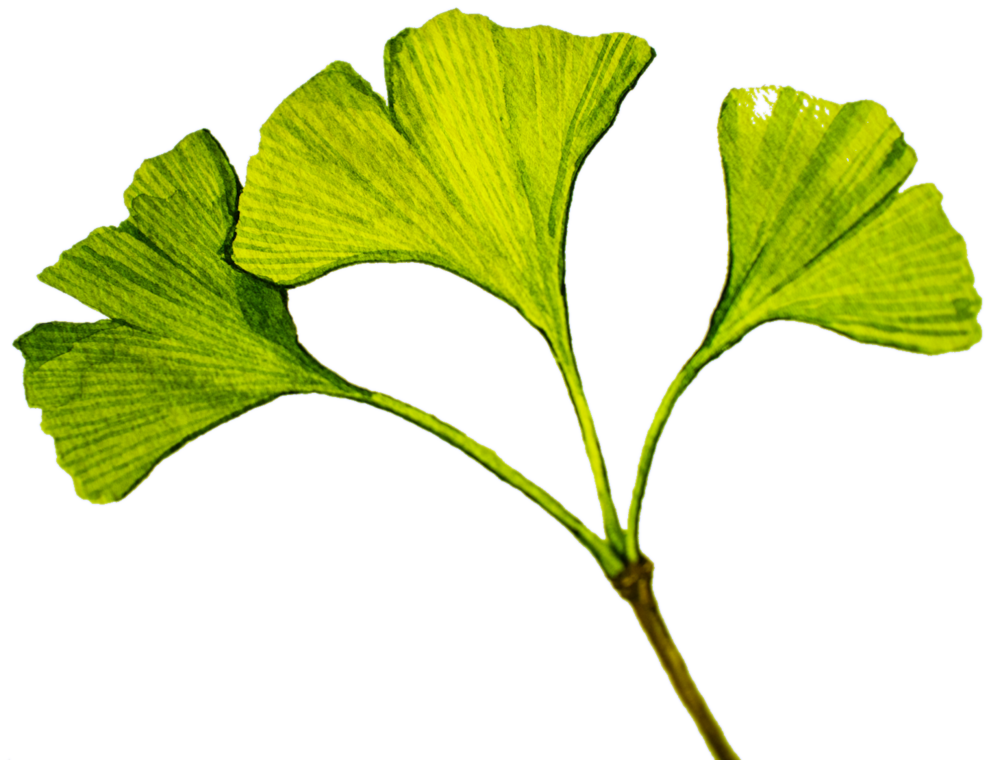 Ginkgo Biloba Best Nootropics as Earth Grown Ingredients by Earthly Biotics