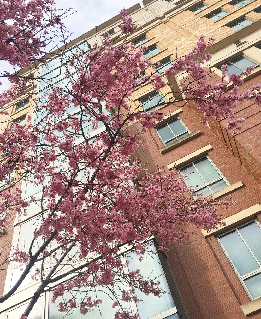D.C. cherry blossoms.