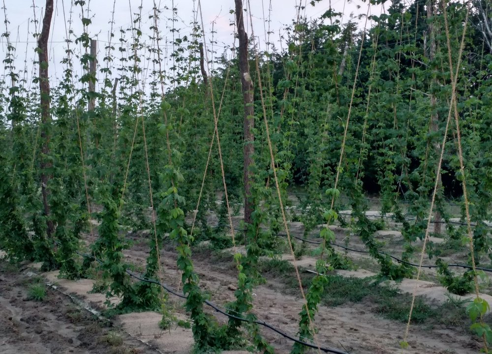June 2017 Chinook Hops climbing up the strings