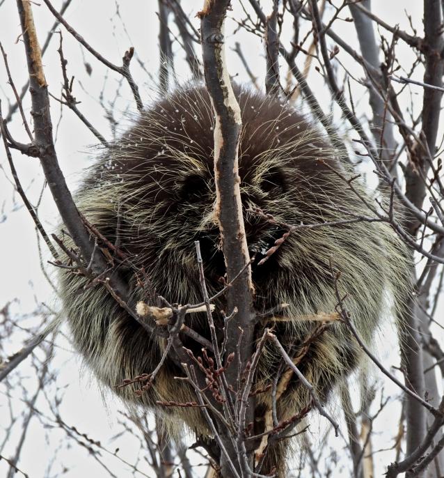 sleeping-porcupine-1