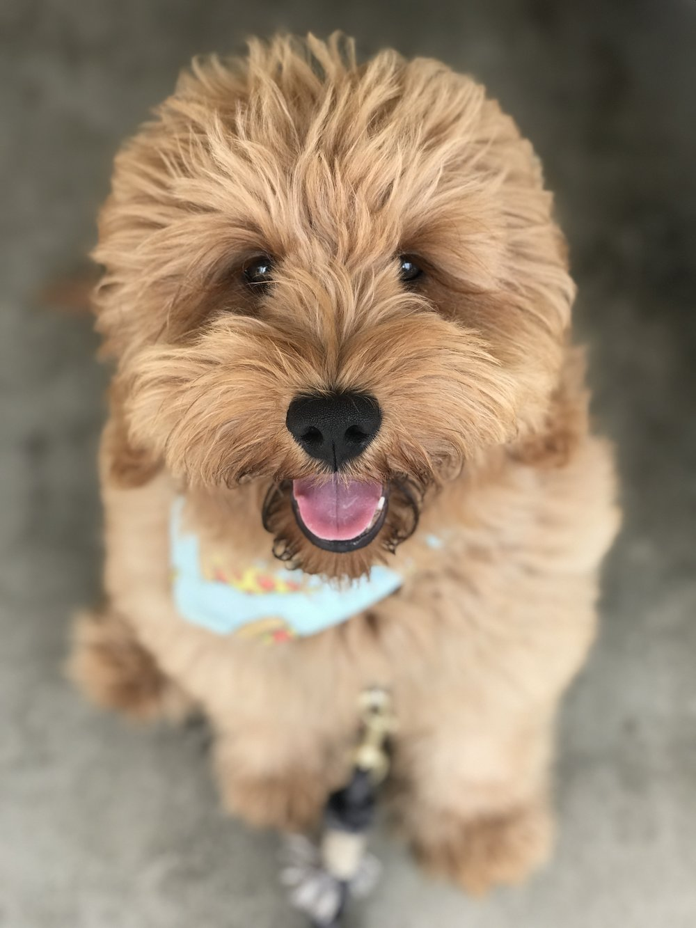What kind of doodle is Pax? - Pax is an F1 mini Goldendoodle. He is 50% retriever 50% poodle. He does not shed and weighs 33 pounds.  Pax is part of the Copper Canyon Doodle family located in Utah. He barely sheds, was easily trained, and has a fabulous temperament.
