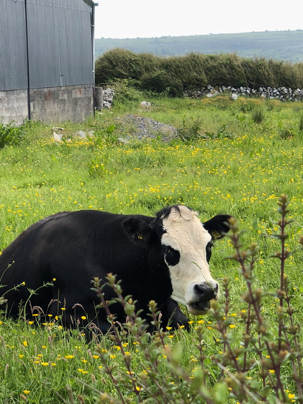 sweet_cow Ireland2.JPG