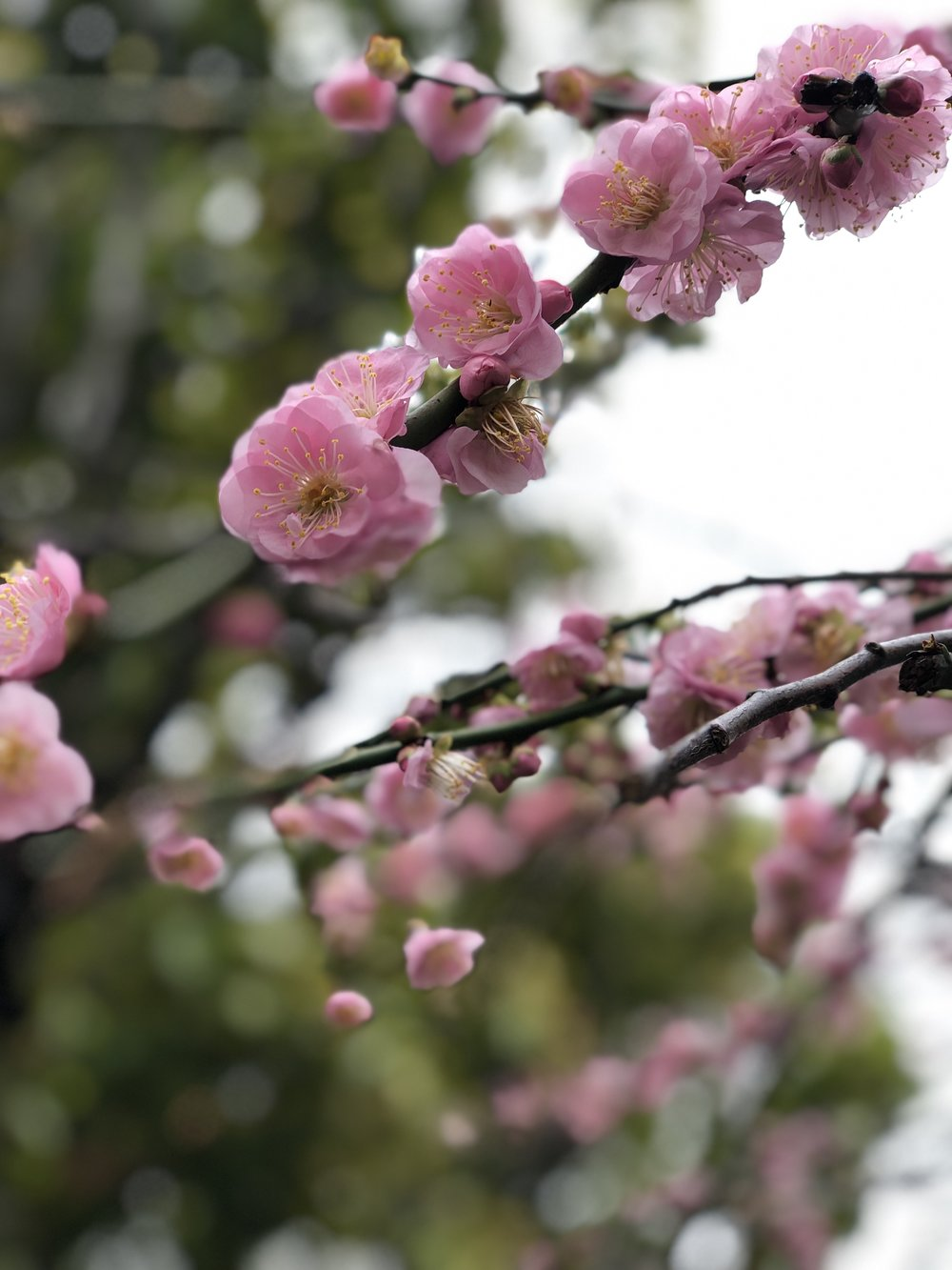 more plum blossoms.jpg