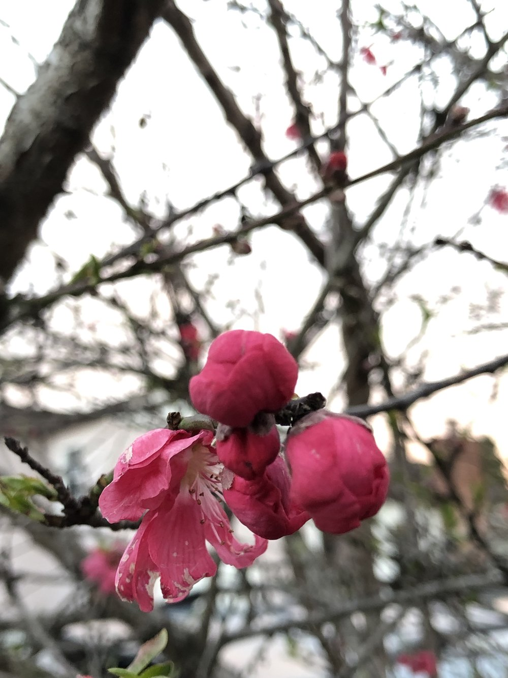 plum blossoms feb.jpg