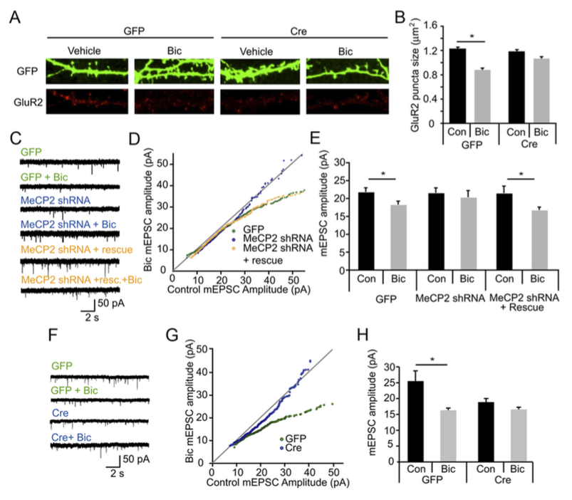 - Qiu Z*, Sylwestrak EL*, Lieberman DN, Zhang Y, Liu XY, Ghosh A (2012) The Rett syndrome protein MeCP2 regulates synaptic scaling. J Neurosci 32(3):989-94.
