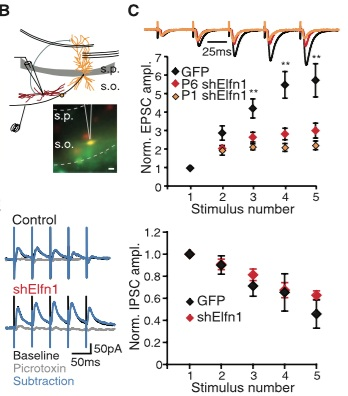 - Sylwestrak EL, Ghosh A (2012) Elfn1 regulates target-specific release probability at CA1-interneuron synapses. Science 338(6106):536-540.