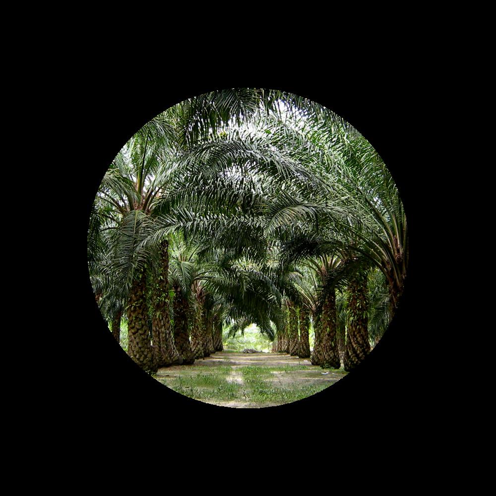 Palm Oil -