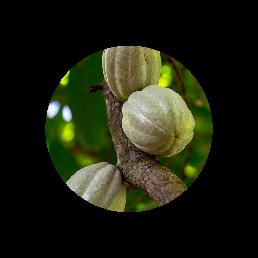 Cocoa Pod -