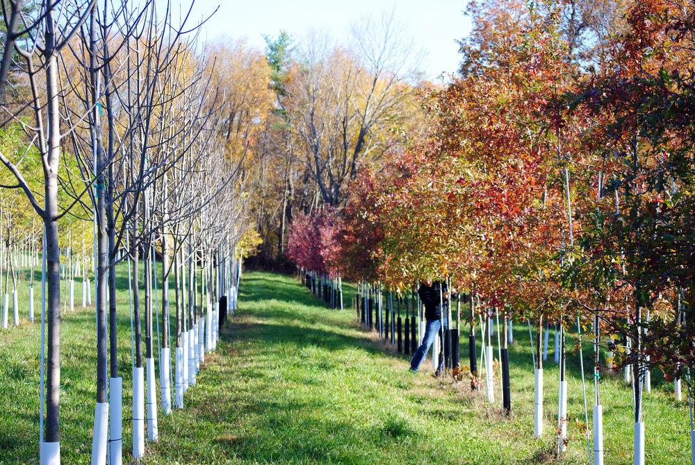 Maples  Charbrook Nursery