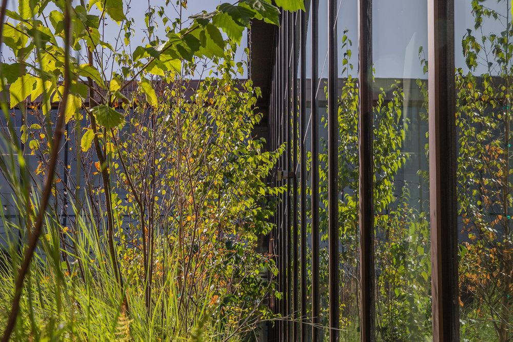 Birch Trees  UMass Design Building Amherst, MA
