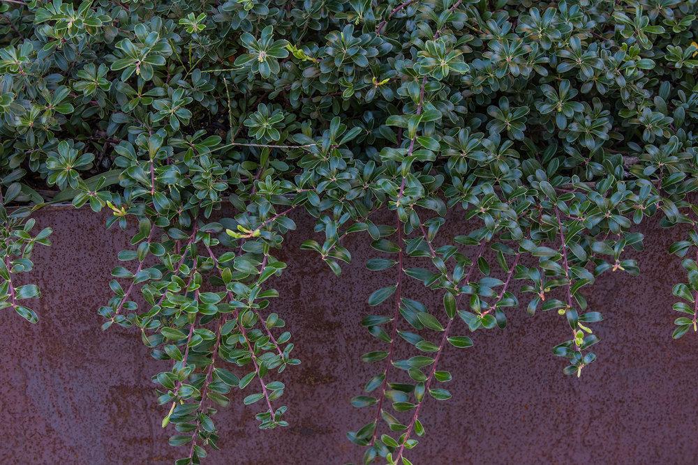 Bearberry  UMass Design Building Amherst, MA