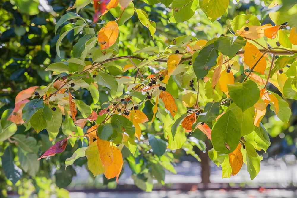 Tupelo leaves + fruits  UMass Southwest Concourse Amherst, MA
