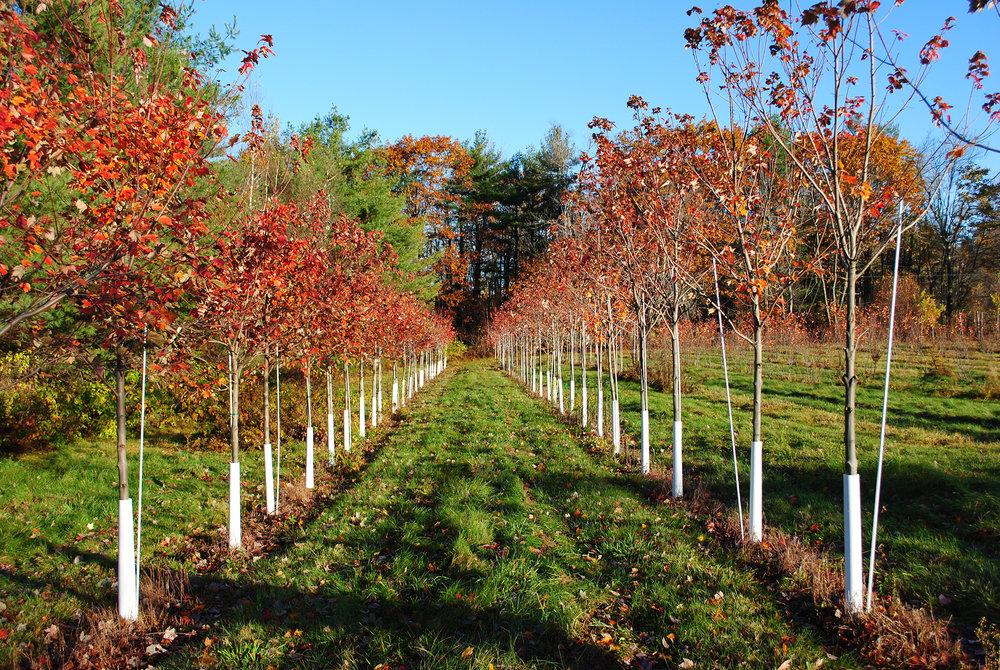 Row of Maples  Charbrook Nursery