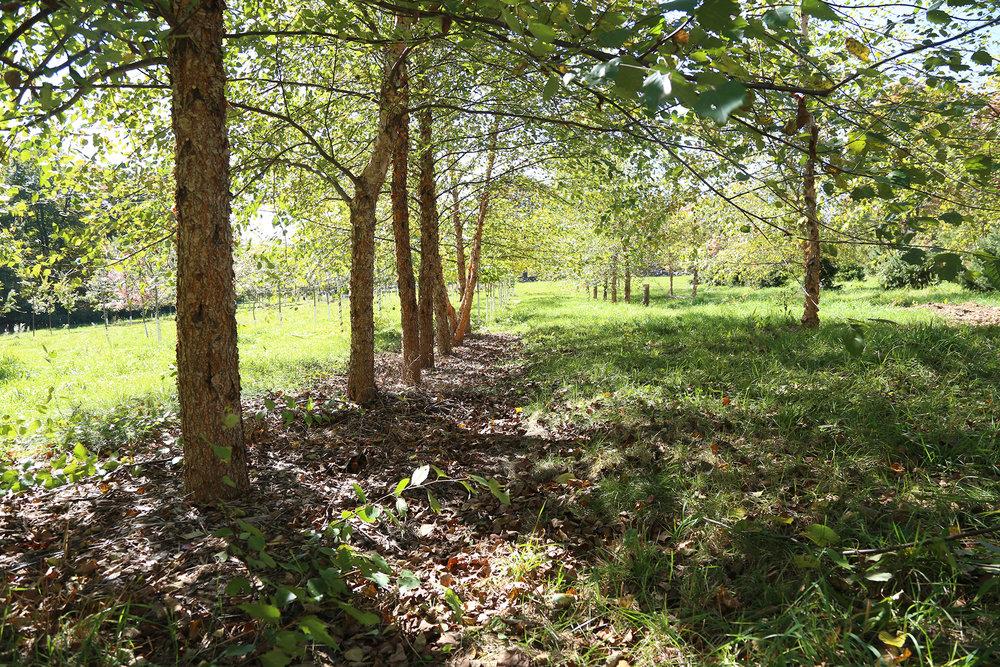 Row of River Birches  Charbrook Nursery