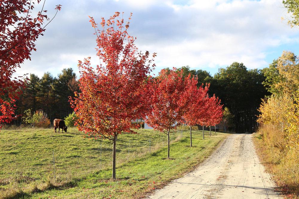 Row of Maples  Charbrook Farm