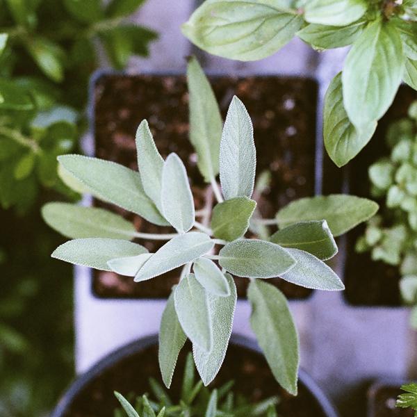 shady-acres-herb-farm-theresa-mieseler-basil.jpg