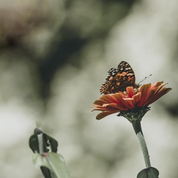 shady-acres-herb-farm-theresa-mieseler-butterfly.jpg