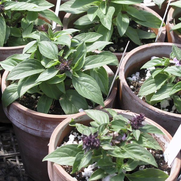 shady-acres-herb-farm-theresa-mieseler-plant containers.jpg