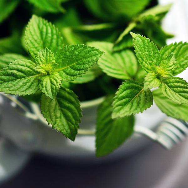 shady-acres-herb-farm-theresa-mieseler-sweet-herbs.jpg