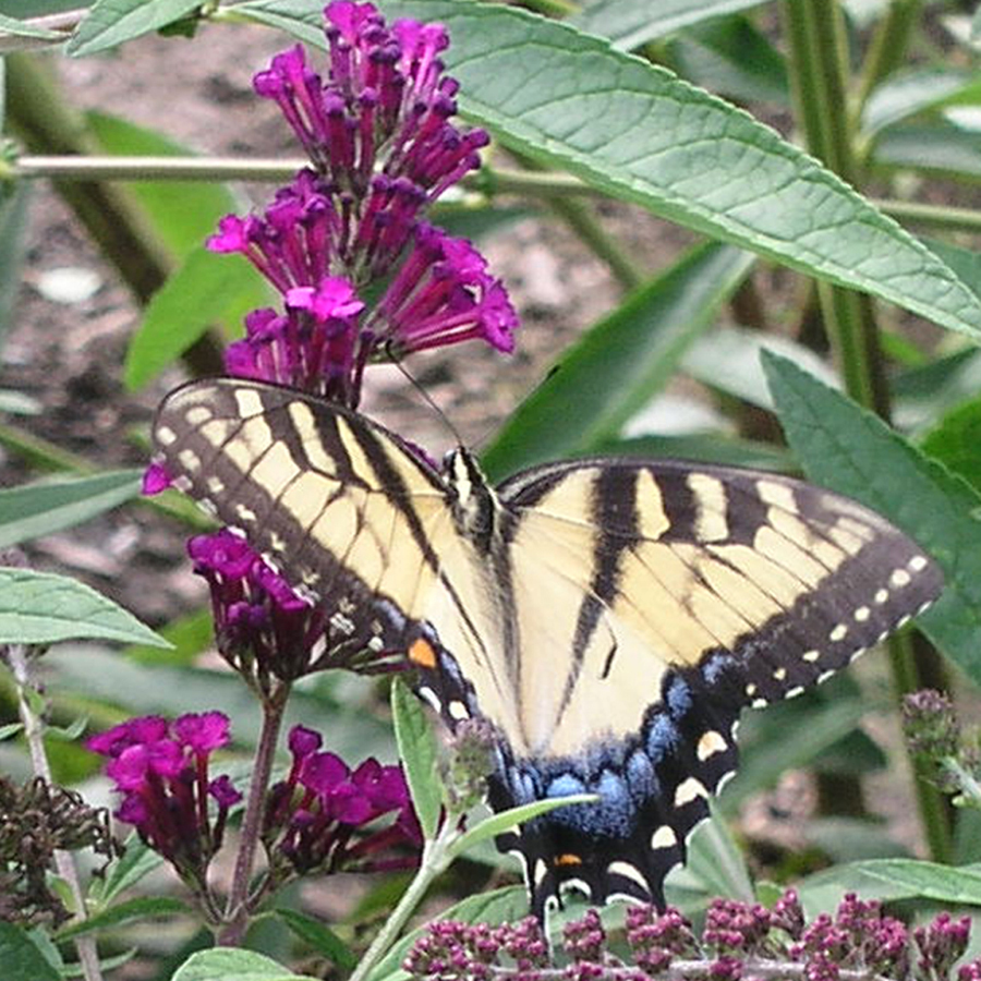 Creating a Habitat for Birds and Butterflies - Are birds and butterflies attracted to your yard or garden — would you like more? We'll discuss flowers and herbs to select for habitat as well as care and light requirements.