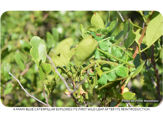 A Miami blue caterpillar explores its first wild leaves after its reintroduction. Photo by Peter Kleinhenz.