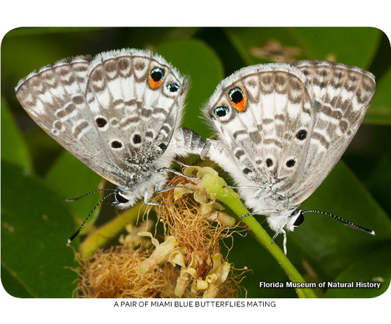 A pair of Miami blue butterflies mating. Photo by Florida Museum of Natural History.