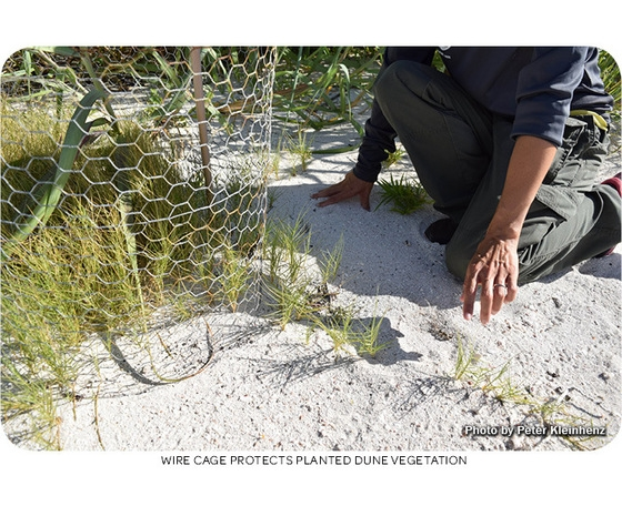 Wild cage protects planted dune vegetation. Photo by Peter Kleinhenz.