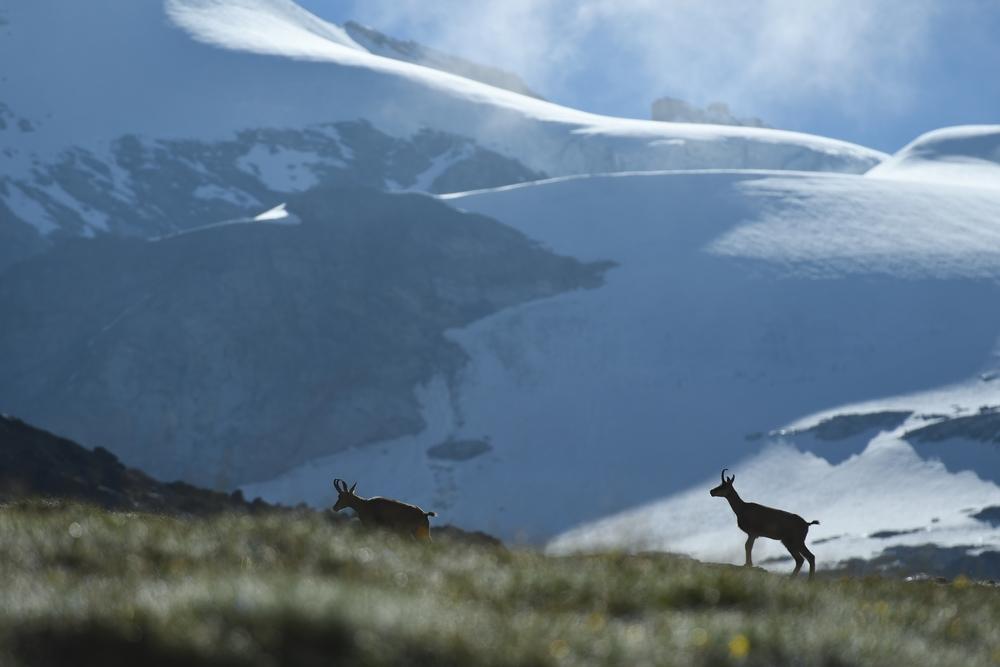 - Du 14 au 16 juin j'aurai le plaisir de guider un séjours photo dans le Parc National du Grand Paradis, dans les Alpes Italiennes ! Si vous souhaitez vous y joindre, ou si vous voulez plus de renseignements tout se passe sur le site de Salva fauna, au lien suivant :https://www.salvafauna.com/fr/voyage-photo-nature-ethique/faune-parc-national-grand-paradis-italie