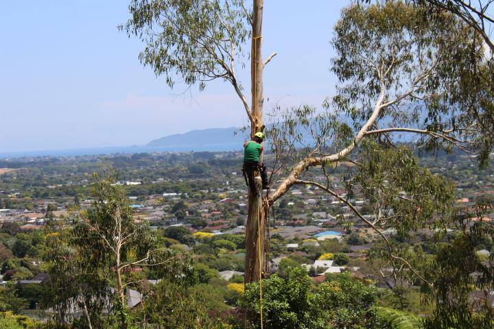 Taking down gum trees in Reikiorangi to provide views of Kapiti Island.