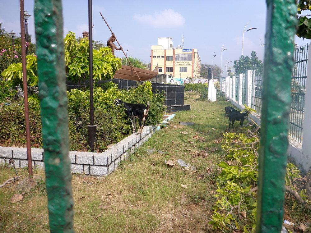 Goats, Chennai