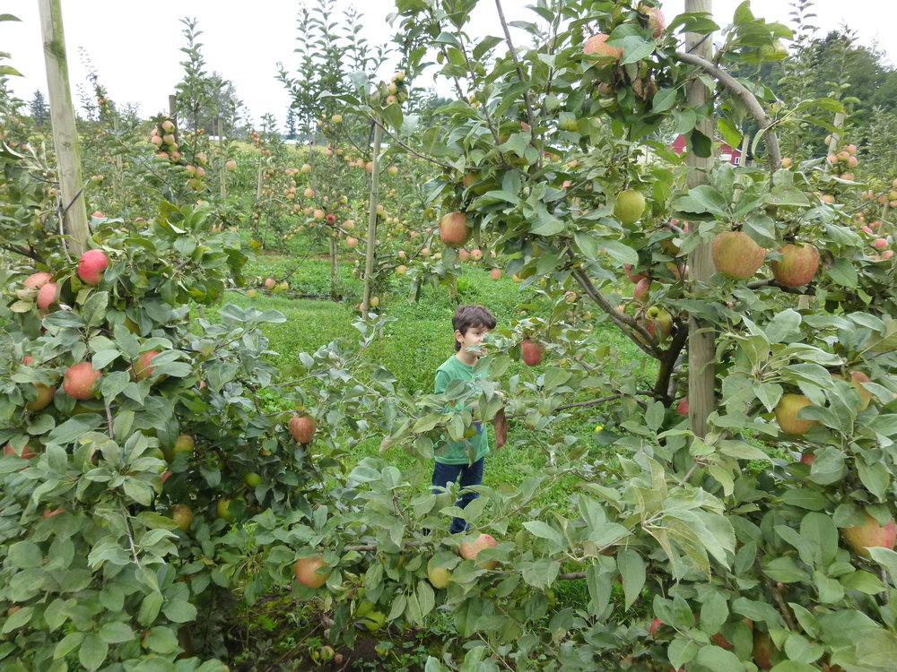 willow-view-apples.JPG