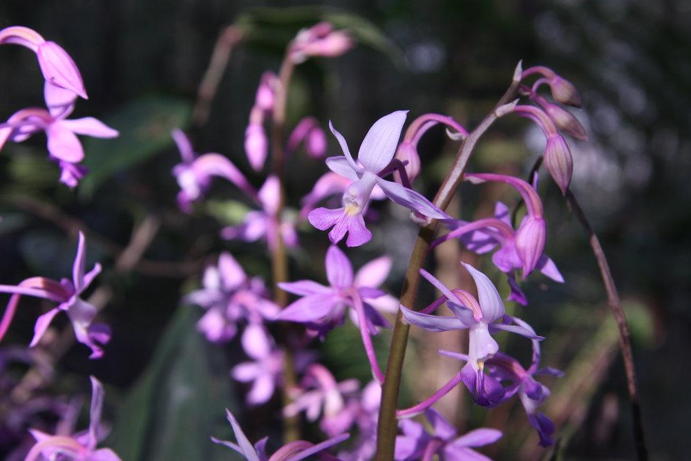 Calanthe plantaginea